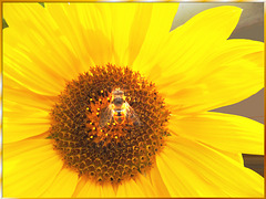 Sunflower with hover fly. ©UdoSm