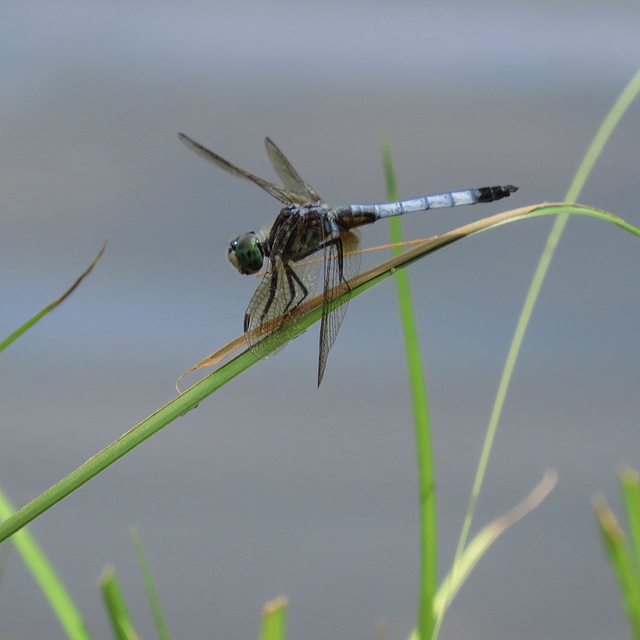 Great blue skimmer (M)