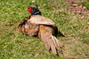 What are you staring at - have you never seen a pheasant sunbathing?
