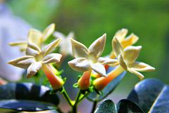 3 (9)...austria flower