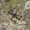 Common whitetail (F)