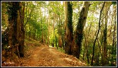 Entre eucaliptus