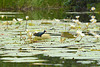 Guatemala, The Common Gallinula Running on Water Lilies