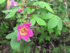 First wild roses of the season