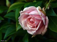 Mes roses de Noël le 24-12-19