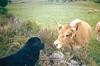 Aubrac: découverte des vaches / Discovering cows
