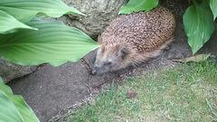 Ein gerne gesehener Bewohner unseres Gartens