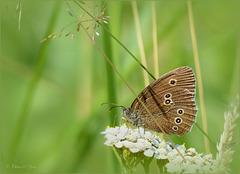 Ringlet ~ Koevinkje (Aphantopus hyperantus)...