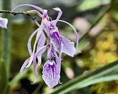 Encycliea Adenocaula – Botanical Garden, Montréal, Québec