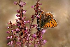 Bruine vuurvlinder (Lycaena tityrus), female...