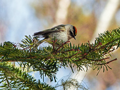 Day 6, Golden-crowned  Kinglet, Tadoussac
