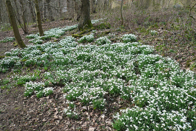 Snowdrops By The Clyde