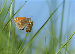 Small Heath ~ Hooibeestje (Coenonympha pamphilus)...