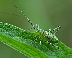 Larvae of a Large Green Grasshopper