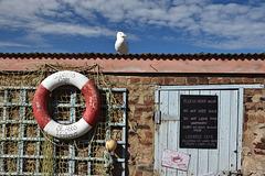 The St Abbs Gull