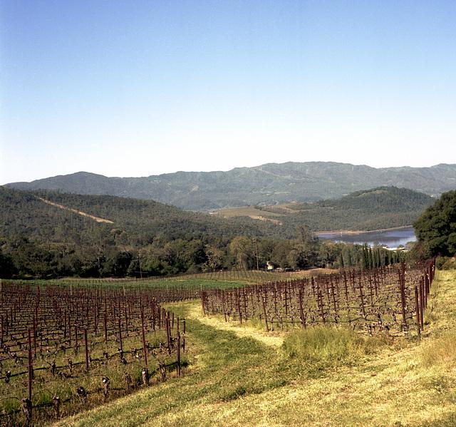 Orderly Hillside Vineyard
