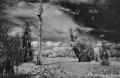 Circle B Bar Infrared Swamp 022016