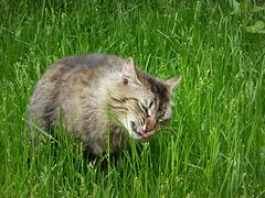 il gatto erbivoro