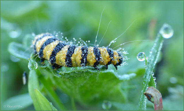 Caterpillar from the Cinnabar moth ~ Sint Jacobsvlinder (Tyria jacobaeae)