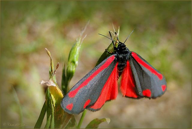 Cinnabar moth ~ Sint Jacobsvlinder (Tyria jacobaeae) with open Wings...