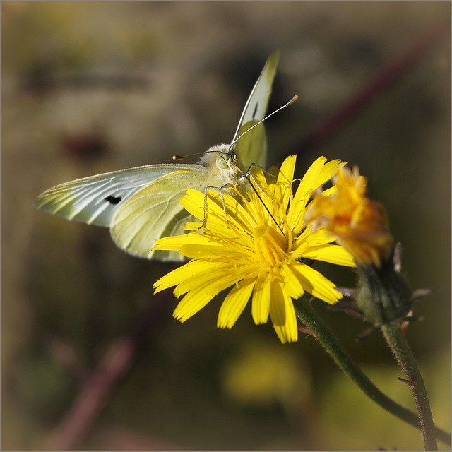 fil(et) à papillons - Page 8 39991720.2ad86db4.640