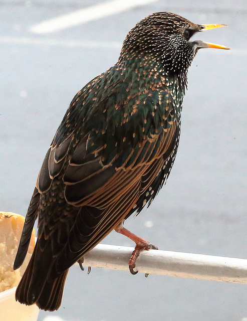 IMG 0181 Starling dpp