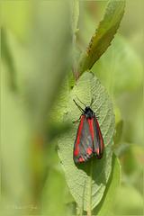 Cinnabar moth ~ Sint Jacobsvlinder (Tyria jacobaeae) ...