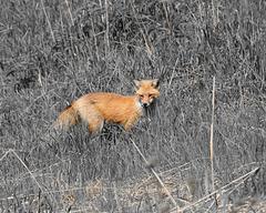 renard / fox