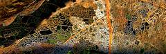 Skellibobbin Leaves