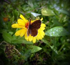 ultime farfalle