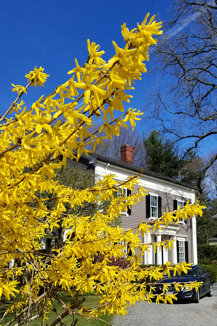 Forsythia to the fore