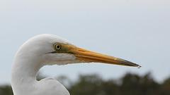 260/365 Egret