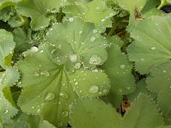 gdn - droplets, close-up
