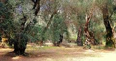 Ancient olive grove, Corfu
