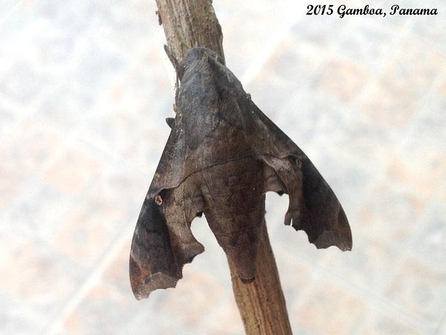 P045G Enyo lugubris (Mournful Sphinx) Female