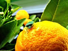 Bug on a Tangelo