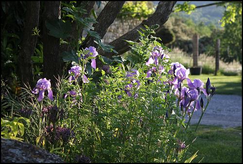 Iris pallida dans le soleil couchant