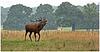 Richmond Park Red Deer Stag