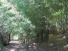 Bosquet de Bambou