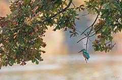 IMG 0285 Martin pêcheur