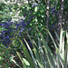 Blue Ceanothus in the background ...