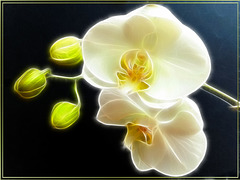 Weise Orchidee. White Orchid. ©UdoSm