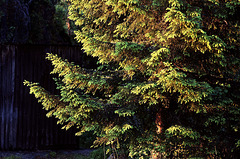 Norway spruce in evening light