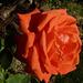 Rosa roja de Madrid
