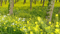 Really wonderful to see this impressive yellow Rapeseed field!