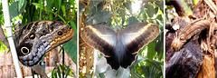 Bananenfalter (Caligo eurilochus) ©UdoSm