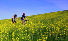 Climbing the 'mountain' between the Rapeseed ;)