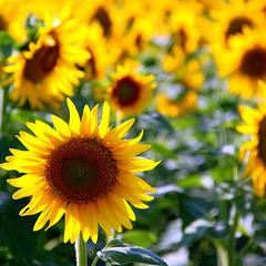 Il est là le soleil ... il est là ... / He is there the sun ... he is there ...