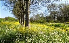 Overal waar je kijkt, bloeit er nu (naast alle tulpen) Koolzaad en Fluitenkruid in Nederland..!