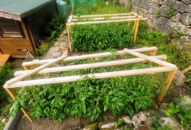 100 Tomatenpflanzen